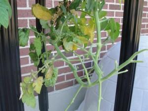 damaged tomato plant