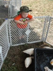 toddler watching ducks