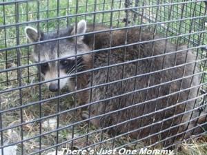 catching raccoons